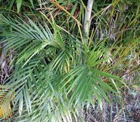 Chrysalidocarpus lutescens
